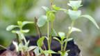 Die Steviapflanze ist 300 mal süsser als Zucker und hat keine Kalorien. Ein Nachteil: einen bitteren Geschmack.