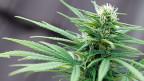 Häufig genügt einer, der die Türe weit genug aufstösst. In Sachen Cannabis-Legalisierung will Genf diese Rolle übernehmen.