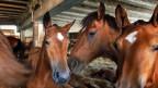 Freiberger Pferde sind vom Aussterben bedroht. Der Bund unterstützt deshalb die Züchter von Freiberger-Pferden mit 500 Franken pro Fohlen.