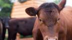 Stress vermeiden: Diese Methode erspart den Tieren beispielsweise den Transport, das Eingesperrtsein auf dem Schlachthof.