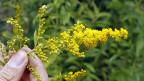 Die Goldrute, die einzeln mit ihren gelben Blüten schön anzusehen ist, ist eine Meisterin der Vermehrung und Verdrängung.
