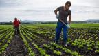 Der hoch attraktive Schweizer Arbeitsmarkt lockt nach wie vor viele Ausländerinnen und Ausländer an: Ein portugiesischer und ein slowenischer Landarbeiter in Kerzers im Berner Seeland.