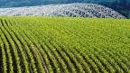 Die Träger der Deponie hinter einem Maisfeld. Noch etwa drei Jahre dauert es, bis der Gestank nachlässt und das tiefe Loch mit sauberer Erde aufgefüllt wird. Die Halle wird danach abgebaut - und dann kann endlich richtig Gras wachsen über die Sondermülldeponie Kölliken.