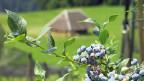 Brunners für die Bio-Produktion entschieden. Da sind die Kunden eher bereit, höhere Preise für die Bio-Beeren zu zahlen. Also etwa acht Franken für ein Schälchen von 250 Gramm. Bild: Heidelbeerstaude – im Hintergrund der Eichhof bei Aarberg im Berner Seeland.