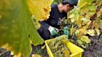 An den Reben hängen nur noch vereinzelt Weintrauben: In der Schweiz wurde «Moon Privilege»  für den Weinbau vom Markt genommen. Symbolbild.