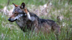 Ein Wolf, fotografiert am 28. Mai 2013 am Dorfeingang von Bellwald im Goms.