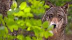 Ein Wolf, halb verdeckt von grünen Blättern und einem Baumstamm.