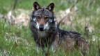 Ein Wolf, mutmasslich «M35», aufgenommen beim Dorfeingang von Bellwald im Obergoms, Wallis 2013. Waldarbeiter haben am 15. März 2016, auf Gemeindegebiet von Sils im Graubünden den Kadaver eines Wolfes gefunden. Der Wolf ist an den Folgen mehrerer Schrotschüsse gestorben.