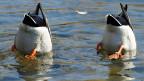 Die Enten und Teichhühner kümmert der Streit kaum; sie schwimmen im Wasser und picken weiter nach Würmern und Muscheln im Schlamm - und das dürften sie noch eine ganze Weile tun.