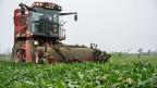 Schweizer Zucker gibt es, wenn Schweizer Bauern Zuckerrüben anpflanzen. Die Schweizer Zuckerfabriken sind auf die Zuckerrüben-Bauern angewiesen.