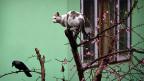 Es gibt heute etwa zehn Mal mehr Katzen als Füchse. Was kann man dagegen tun? Konsequent wäre, deutlich weniger Katzen halten – aber das laut zu sagen trauen sich die meisten Naturschutzorganisationen nicht. Bild: Diese Jagd könnte erfolglos bleiben; der Rabe könnte der Katze überlegen sein.