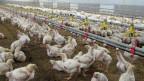 Immer mehr Bauern steigen auf Pouletmast um.