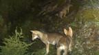 Das Bild aus einer Fotofalle zeigt Jungwöllfe des Calandarudels, Jahrgang 2014.