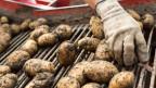 Heuer landen bis zu 25 Prozent der Schweizer Kartoffeln in Schweinetrögen oder in Biogasanlagen, obwohl sie eigentlich problemlos von Menschen gegessen werden könnten.