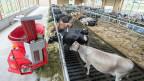 Kühe werden mit einem Roboter automatisch nach Bedarf gefüttert. Sind solche technischen Hilfsmittel der Grund dafür, dass die Landwirtschaft immer teuer wird?