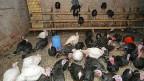 Gibt es auf einer Geflügelfarm keine gedeckten Aussenplätze, müssen Truthähne, Hühner und Gänse im Stall bleiben.