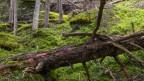 Rot- und Weisstannen machen in der Schweiz mehr als zwei Drittel aller Bäume aus.