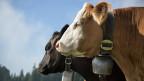 Gentechnologie ist nicht im Spiel. Hornlosigkeit ist ein reines Zuchtergebnis, so wie früher Rinder mit besonders starken Hörnern herangezüchtet wurden, um sie besser als Zugtiere gebrauchen zu können.