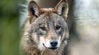 Die gegensätzlichen Positionen der Wolf-Befürworter und der Wolf-Gegner machen deutlich, dass sich die beiden Lager nicht so rasch auf eine gemeinsame Position einigen werden.
