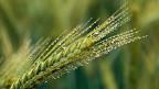 Für die in der Westschweiz starken Getreide- und Ackerbauern sind Betriebe, die Lebensmittel verarbeiten, Convenience-Food herstellen,  zunehmend wichtige Direktkunden.