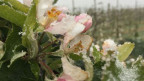 Apfelblüten seien in Frostnächten besonders gefährdet.