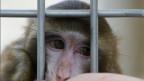 Für die Affen seien die Versuch keine Belastung, weil Gehirne schmerzunempfindlich, sagt die ETH. Symbolbild.
