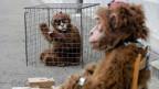 Zwei Personen in Affenkostümen warten vor dem Bundeshaus West bei der Unterschriftenübergabe für die Petition «Abschaffung von Affenversuchen» am 24. April 2008 in Bern.