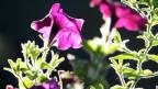 Eine violette Petunie. In Finnland waren Ende April Petunien aufgetaucht, die durch gentechnischne Veränderung orangefarbene Blüten hervorbringen - auf natürliche Weg komme diese Färbung nicht zustande.