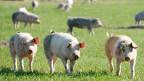 Auch der Fleischkonsum hat einen grossen Einfluss auf die weltweite Ernährungssicherheit.