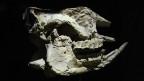 Der vor 150 Jahren gefundene Nashornschädel ist im Naturhistorischen Museum zu sehen. Bild: CHRISTIAN STRÜBIN/SRF.
