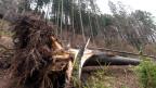 Umgestürzte Bäume liegen nach dem Sturm «Burglind» im Wald.