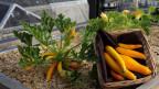 Gemüse vom Primetower statt vom Seeland.