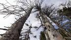 Von Borkenkäfer befallene Bäume.