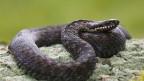Auf dem Bahndamm fühlen sich die Schlangen besonders wohl.