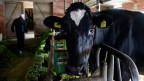 In einem Stall wird eine Kuh auf Antibiotika untersucht.