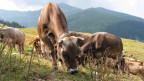 Vieh auf einer abgeweideten Alp bei Trun.
