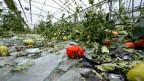 Ein vom Hagel zerstörtes Gewächshaus. Am Boden liegen Glasscherben, abgerissene Ranken, Blätter und aufgeplatzte Tomaten in verschiedenen Reifestadien.