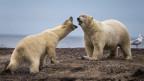 Eisbären in Alaska.