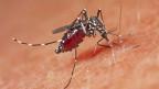 Die extrem aggressive Stechmücke kann Tropenkrankheiten wie das Dengue-Fieber oder Chikungunya übertragen.