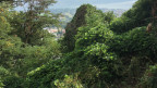 Kudzu-Schlingpflanze im Tessin.