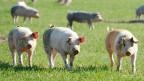 Preis- und Lohndumping müsse verhindert werden. Bild: Freilandschweine auf einem Feld bei Scherz, Aargau.