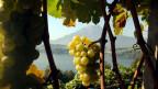 Symbolbild Weintrauben.