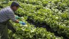 Portugiesischer Landarbeiter erntet Eisbergsalat auf einem Feld bei Ried bei Kerzers FR im Seeland. Symbolbild.