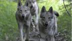 Wird der Wolf zum Abschuss freigegeben?