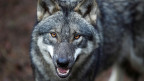 Es war einmal ein Wolf ......