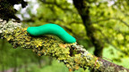 Die künstlichen Raupen werden von ihren natürlichen Feinden wie Insekten, Vögeln und Nagetieren angegriffen. Das schützt die Eichen.