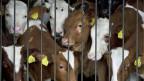 Junge Rinder im Stall.  Der Anteil von Treibhausgasen aus der Nahrungsmittelproduktion ist sehr gross.
