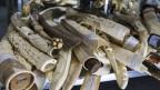 Vom Schweizer Zoll beschlagnahmtes Elfenbein.