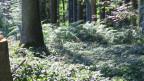Symbolbild. Bäume in einem Wald.