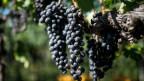 Die Schweizer bevorzugen ausländischen Wein.
